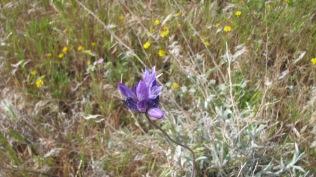 Blue Dick/desert Hyacith