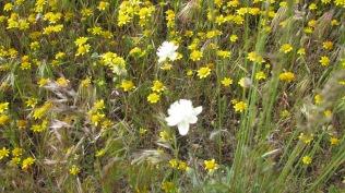 Fremont's Pincushion (Chenactis fremonti)